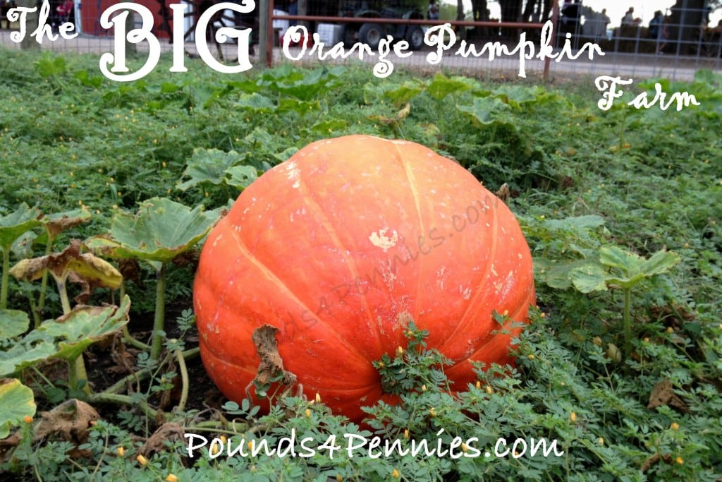 Big Orange Pumpkin Farm